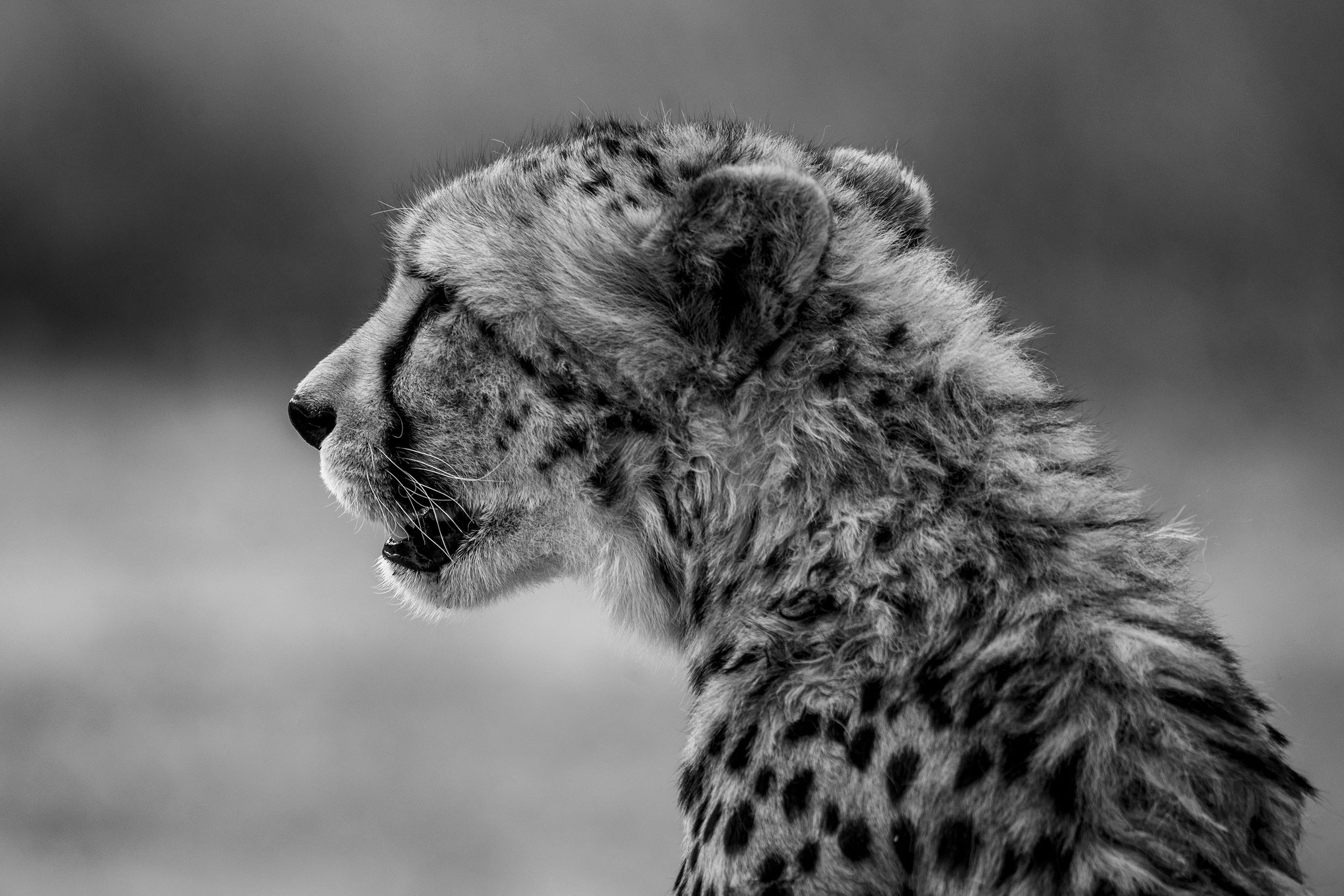 Cheetah - Fine Art Photography Print